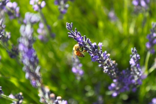 honeybees01