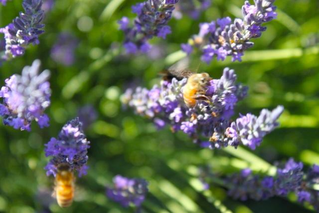 honeybees05