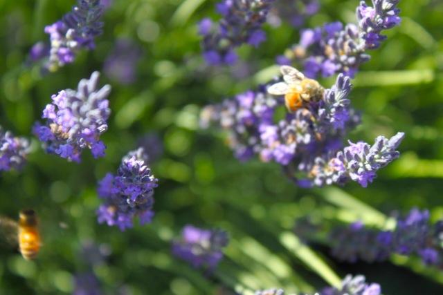honeybees06