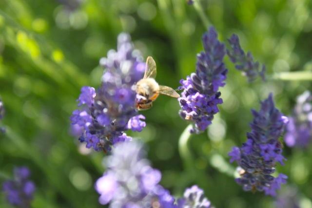 honeybees08
