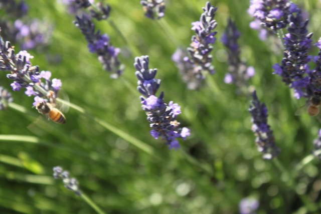 honeybees10