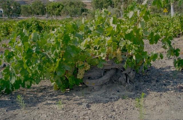 Assyrtiko Vines